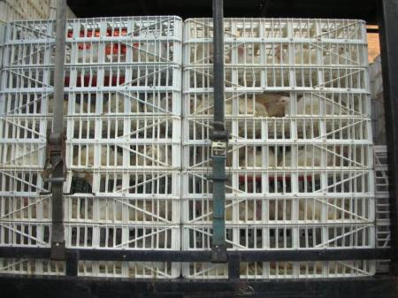 caged-chickens-3232-small.jpg